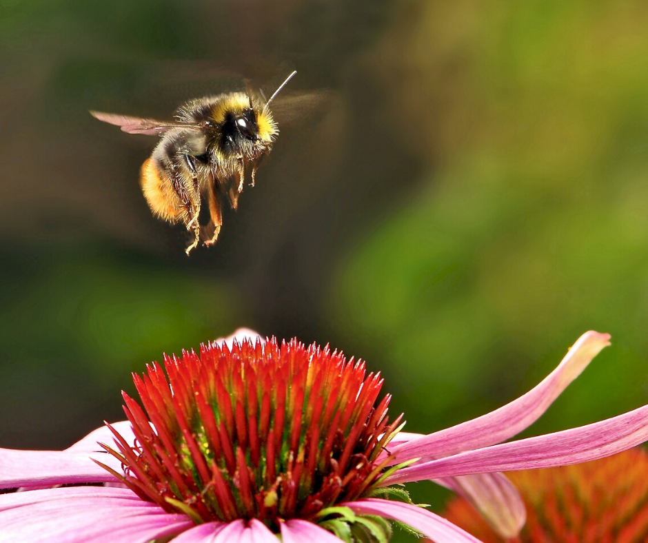 A bee hovering over an attractive red flower